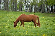 horse in field of daises upstate ny