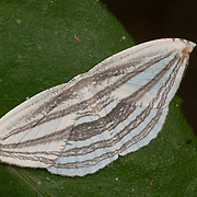 Acropteris iphiata, a species of moth of the family Uraniidae