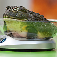 London, UK - 21 August 2013: an african bullfrog (400g) lays on a scale during the ZSL London Zoo's annual animal weigh-in. From big cats to tiny frogs, keepers spend hours each year recording every animal's vital statistics, enabling them to keep a close check on their overall well-being.