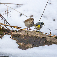 Yellow-rumped Warbler looking for food while a Thrush waits behind him.