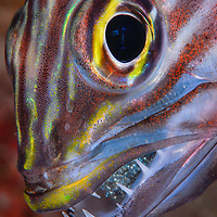 A cardinal fish with eggs in the mouth. SIlver medal in fish portrait category, World Championship in Underwater Photography, Splash in competition, Mauritius, 2007