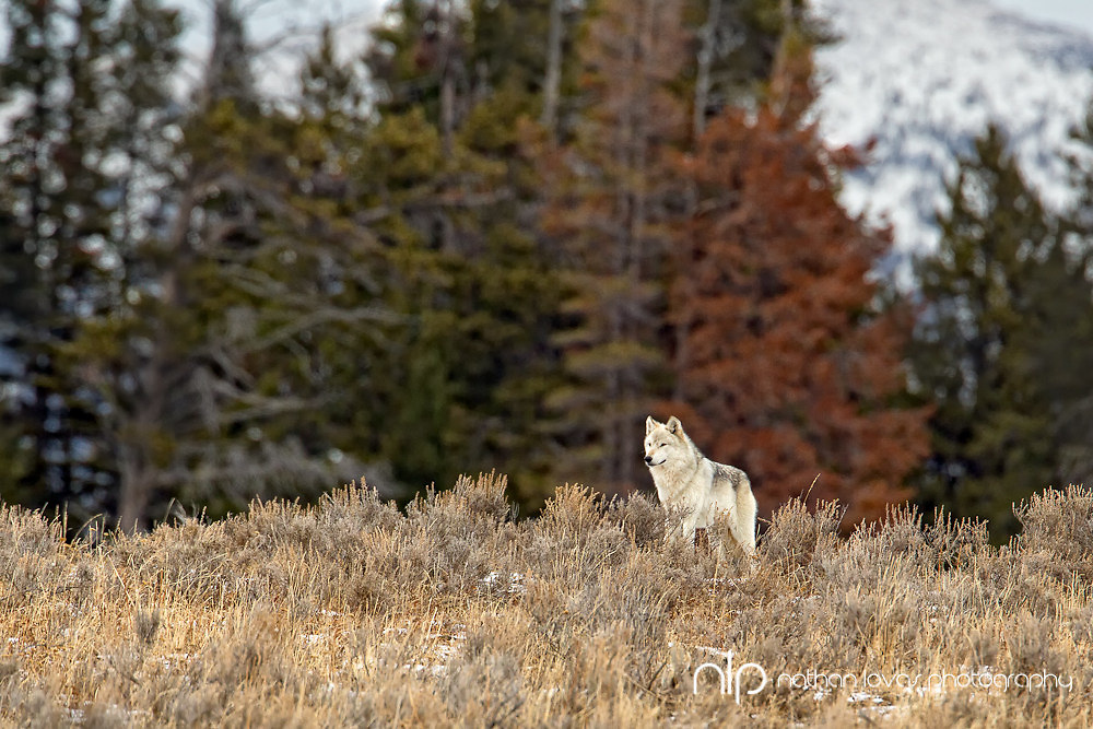 Gray wolf on ridge with fall colors; Yellowstone NP in wild.