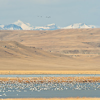 snow geese landing on lake, rocky mountain front, crown of the continent