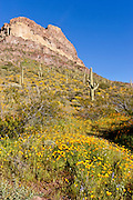 Poppy bloom in Organ Pipe Cactus National Park in spring