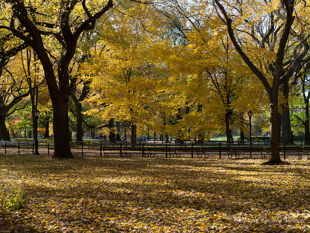 American Elms at the Mall in Central Park. New York City.
