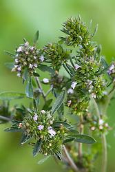 Summer Savory - Satureja hortensis