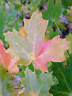 maple leaf after rain in autumn