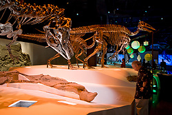 Stock photo of Gorgosaurus with duck-bill mummy, Edmontosaurus adult and juvenile in the<br />