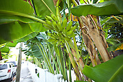Banana tree and fruit in Key West, Florida