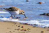 Dunlin - Calidris alpina cleaning slipper shell