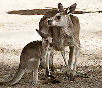 Kangaroo mother and joey, Australia. Wildlife and nature photography wall art. Fine art photography prints.