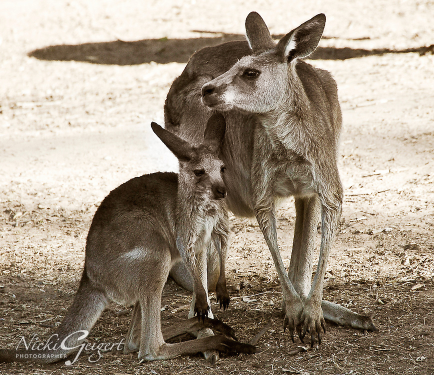 Animals, Kangaroo mother and baby.<br />
