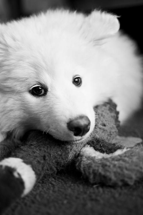 Name: Kuma | Breed: Samoyed | Age: 9 weeks