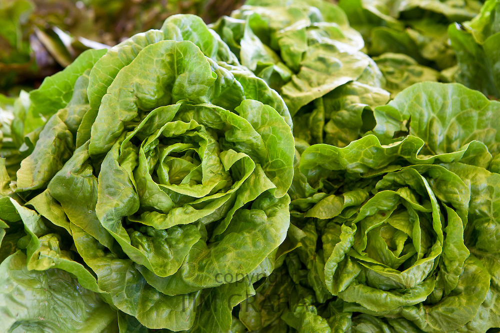 Freshly-picked lettuces on sale at food market at La Reole in Bordeaux region of France