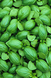 Young leaves of Basil 'Sweet Genovese'