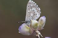 Glaucopsyche p. piasus - Arrowhead Blue