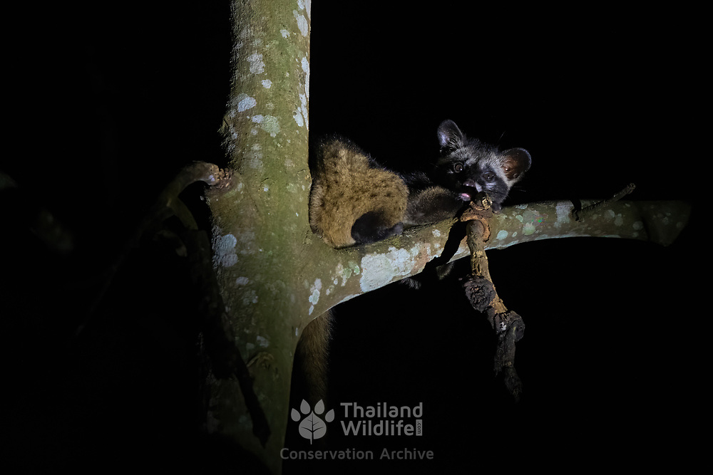 The Asian palm civet (Paradoxurus hermaphroditus) is a small viverrid native to South and Southeast Asia. Since 2008, it is IUCN Red Listed as Least Concern as it is tolerant of a broad range of habitats.  Pang Sida National Park, Thailand.