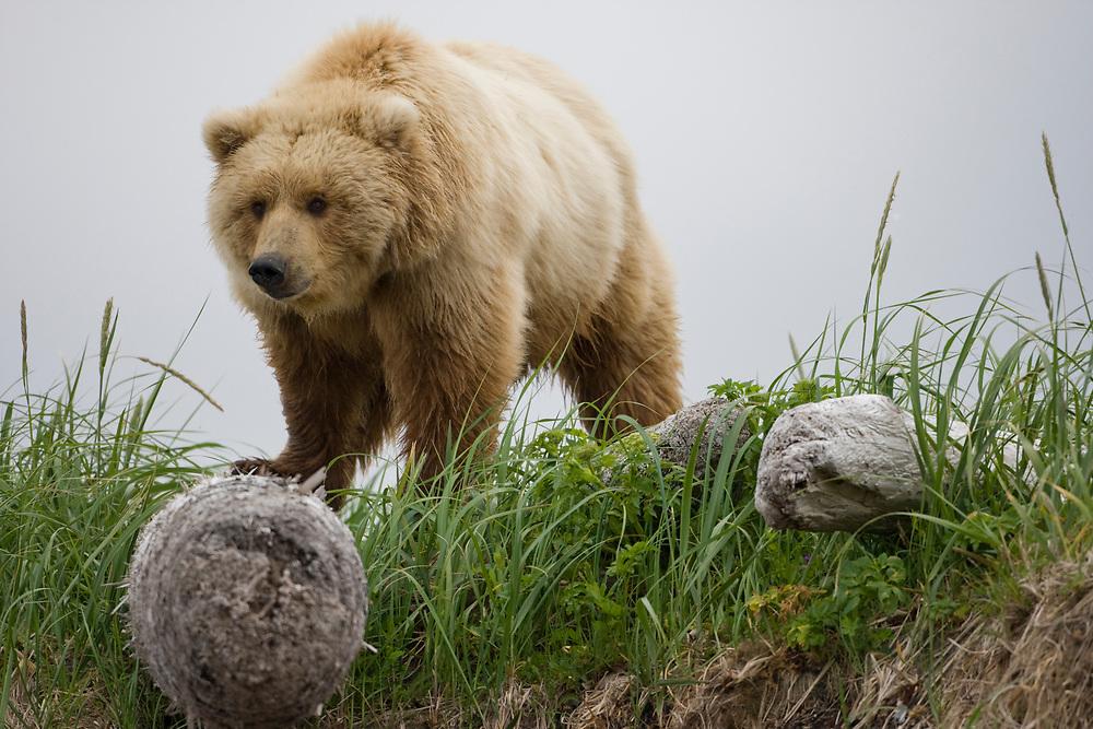 USA, Alaska, Katmai National Park, Brown Bear (Ursus arctos) walking in meadow along Hallo Bay