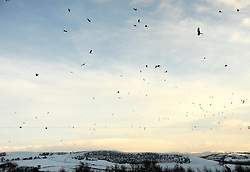 ©London News Picures. 03/12/12. Red kites swarm above snow covered fields in West Wales. They are fed by an anonymous retired lady who has been feeding them since 1994. The lady collects the off-cuts of meat from a local abattoir who supplies them for free. The birds have become used to a feeding time of 1500hrs and during the winter months there can be over 80 birds. Red Kites are distinctive because of their forked tail and striking colour - predominantly chestnut red with white...