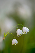 Common Snowdrop, (Galanthus nivalis) delicate white flowers on a green stem. flowering in spring. Photographed in Israel in March