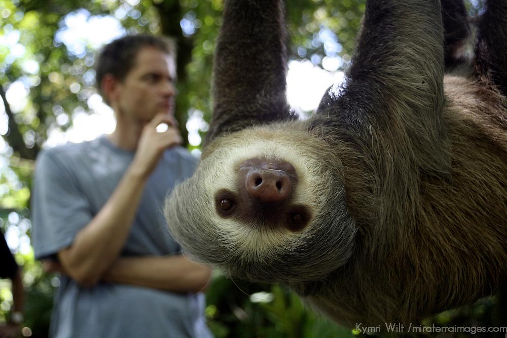 Central America, Latin America, Costa Rica, Golfo Dulce, Cana Blanca Wildlife Sanctuary. Hoffman's Two-Toed Sloth (Chloepus Hoffmani)