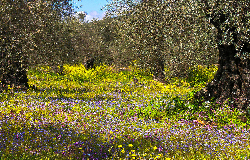Olive grove in northern Israel in spring time.