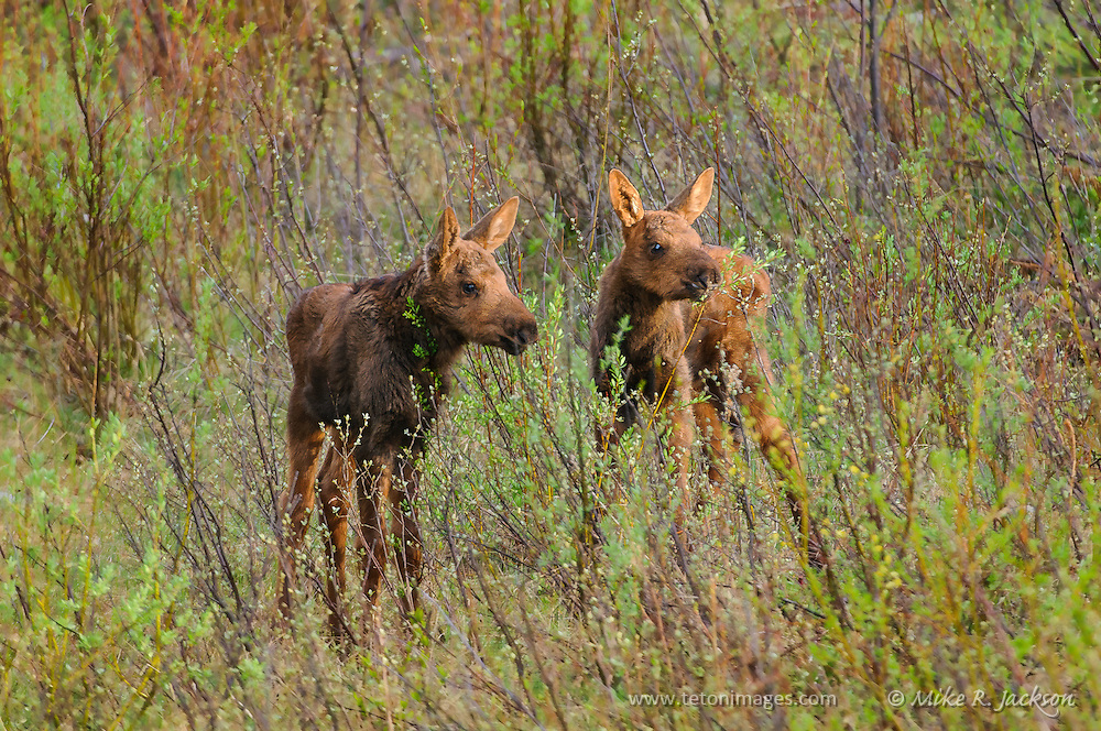 Pair of moose calves hiding in the willows in Grand Teton National Park.