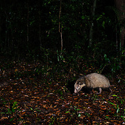 The hog badger (Arctonyx collaris), also known as greater hog badger, is a terrestrial mustelid native to Thailand.