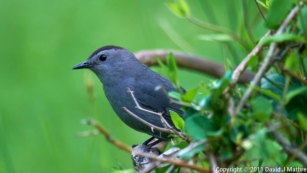 Grey Catbird. Early Summer Nature in New Jersey. Image taken with a Nikon D300 and 600 mm f/4 lens (ISO 250, 600 mm, f/4, 1/200 sec). Raw image processed with Capture One Pro 6, Focus Magic, Nik Define 2, and Photoshop CS5.