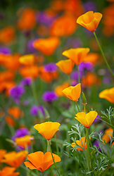 Eschscholzia californica 'Orange King' (California poppy) with Verbena rigida.