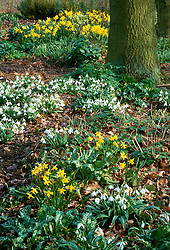 Galanthus plicatus 'Finale'  with Narcissus 'February Gold' in Beth Chatto's woodland garden