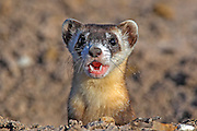 Wild Black-footed Ferret in Prairie Dog Burrow