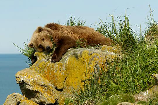 Alaskan Brown Bear, (Ursus middendorffi)  Female resting on rocks.  Katmai National Park. Alaska.