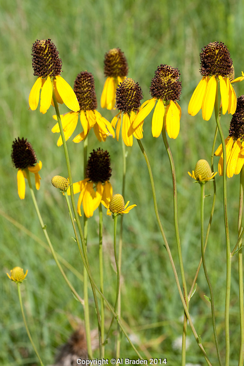 Yellow Coneflower (Rudbeckia grandiflora), Austin County, Texas