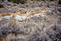 Pronghorn Antelope (Antilocapra americana), Sand Wash Basin, Colorado, USA