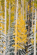 Autumn in the aspen forests of northern Arizona near the Snowbowl ski area.