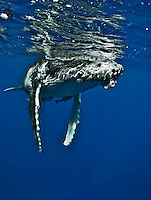 whales, humpbacks,  	Humpback Whale, Megaptera novaeangliae, with parasitic acorn barnacles attached under chin, Cornula diaderma, Tonga, Pacific Ocean, big, marine mammal, Tim Rock