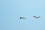 Pair of Cranes, Grus grus, large wingspan birds flying above natural wetlands habitat in Somerset Levels marshes, UK