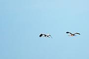 Pair of Cranes, Grus grus, large wingspan birds flying above natural wetlands habitat in Somerset Levels marshes, UK