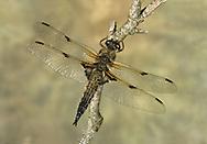 4-spot Libellula - Libellula quadrimaculata