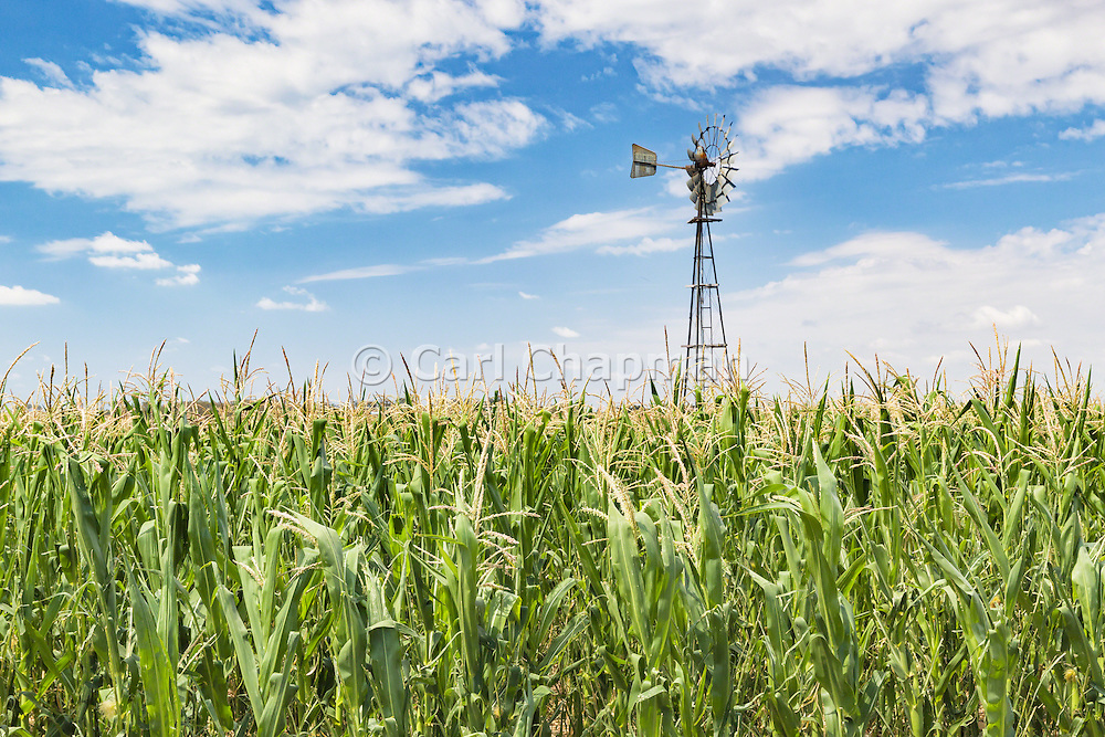 windmill in a field of green corn crop  near Allora, Queensland, Australia