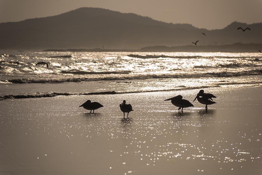 Pelicans sit along the shore at sunset, Isla Isabela, Galapagos, Ecuador.