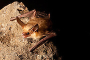 A pallid bat (Antrozous pallidus) perching on rimrock at night near Sulphur Springs, high-desert habitat, Washington.