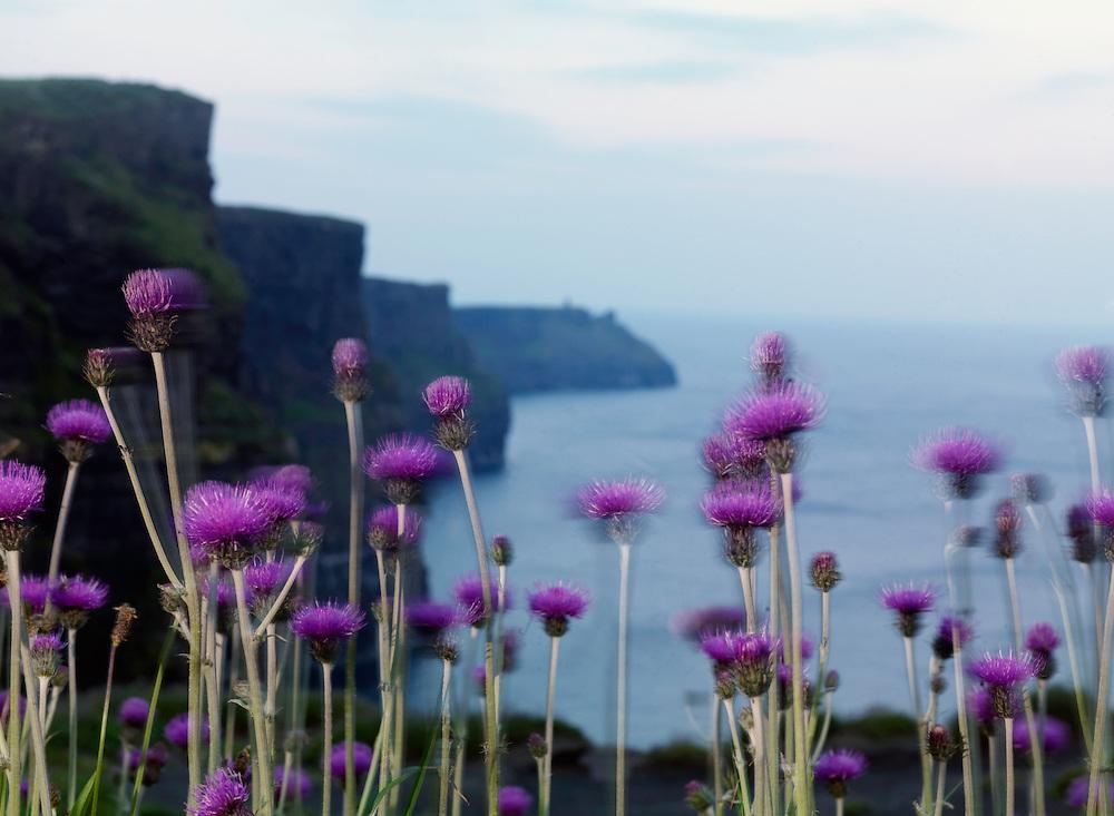 Melancholy thistle, Cirsium heterophyllum, Ireland western coast Burren region Cliffs of Moher limestone landscape