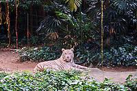 Singapour, Singapore Zoological Gardens, Mandai Zoo, tigre blanc // Singapore, Singapore Zoological Gardens, Mandai Zoo, white tiger