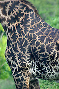 Africa, Tanzania, Arusa, spectacular Masai Giraffe, Giraffa camelopardalis tippelskirchi April 2006