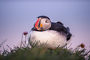 The Atlantic Puffin (Fratercula arctica) is a seabird species  in the auk family. It is a pelagic bird that feeds primarily by diving for fish, but also eats other sea creatures, such as squid and crustaceans.