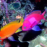 Squarespot Anthias inhabit reefs. Picture taken Raja Ampat, Indonesia.