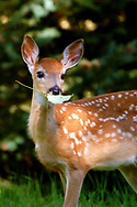 Whitetail fawn eating a cottonwood leaf. Yaak Valley in the Purcell Mountains, northwest Montana.