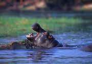 Hippopotamus at Chobe Ganme Reserve.